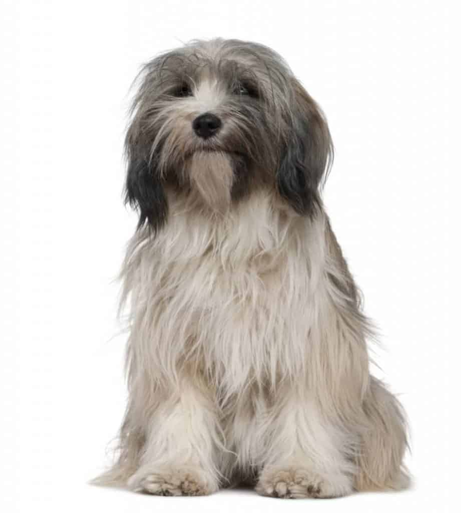small dog breeds that can live outside Tibetan Terrier