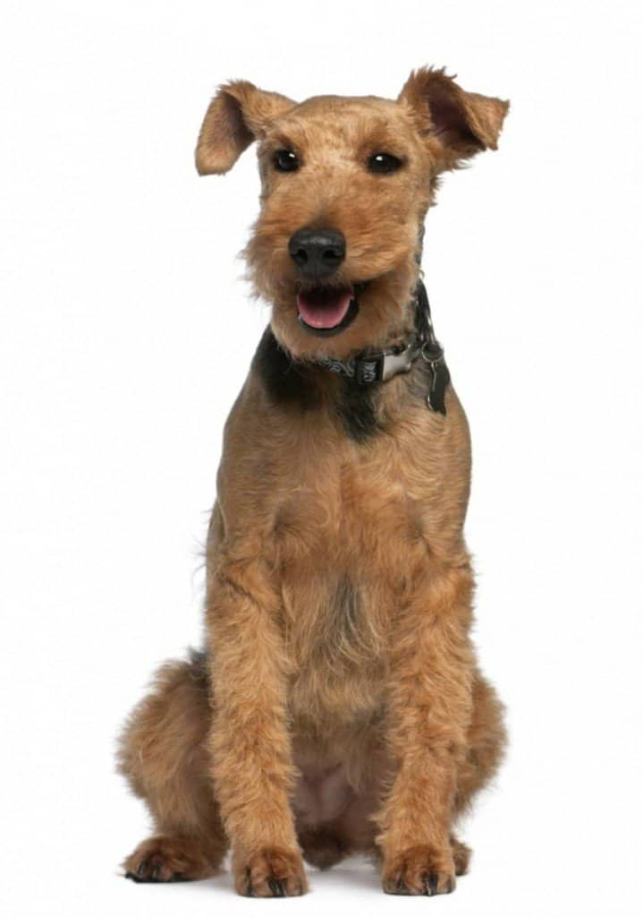 small dog breeds that can live outside Welsh Terrier