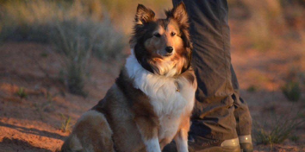 Herding dog traits 3