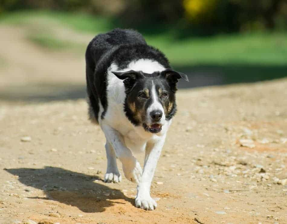 how to entertain a herding dog 3