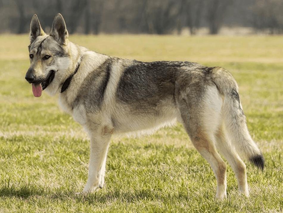 Sarloos Wolfdogs
