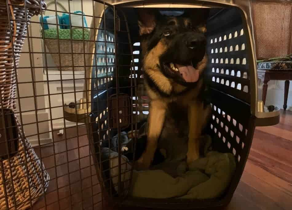 puppy training at night with a crate with Hachiko