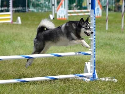 small dog that looks like a husky