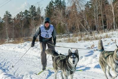 Skijoring with a Siberian Husky