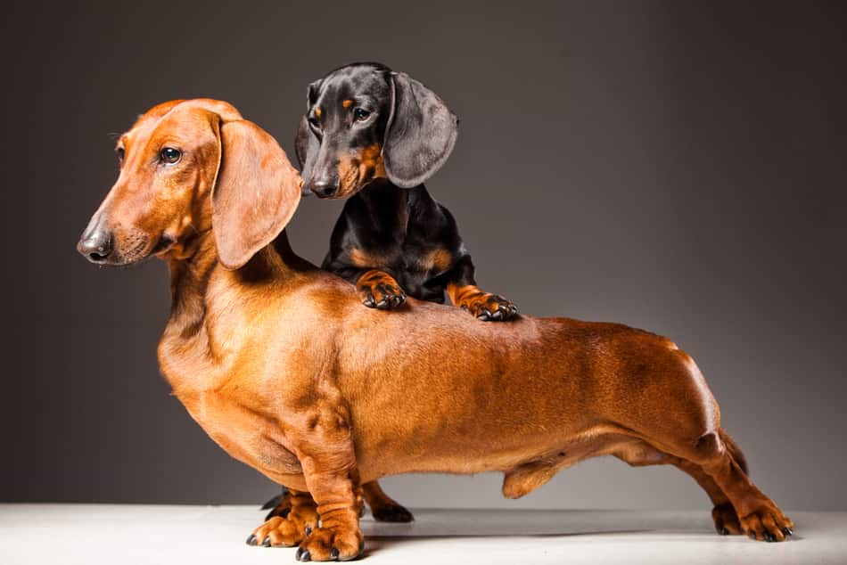 Are dachshunds good in pairs?
