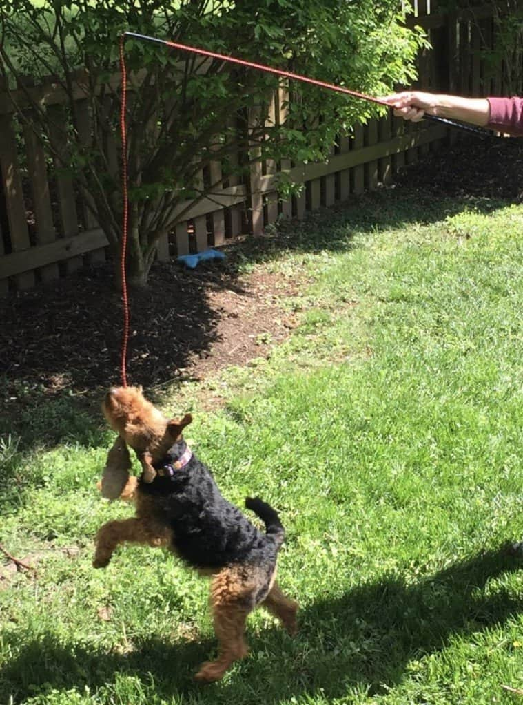 What to do when a dog loses interest in toys 2