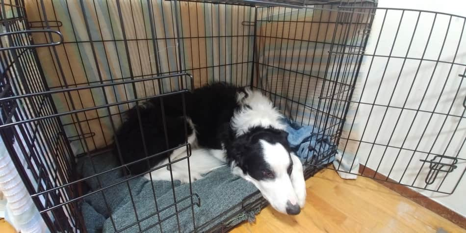 best size crate for border collie