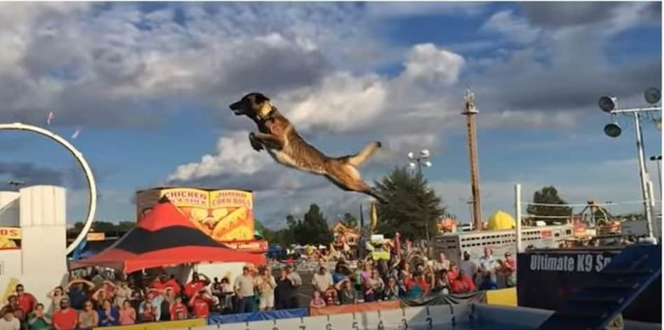 best dog breed for dock diving