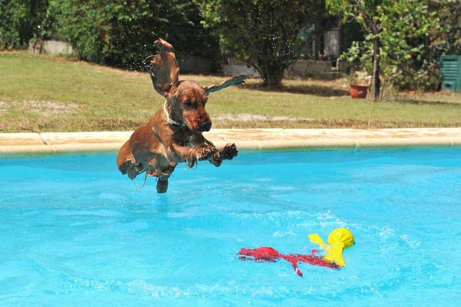 can small dogs go dog dock diving?