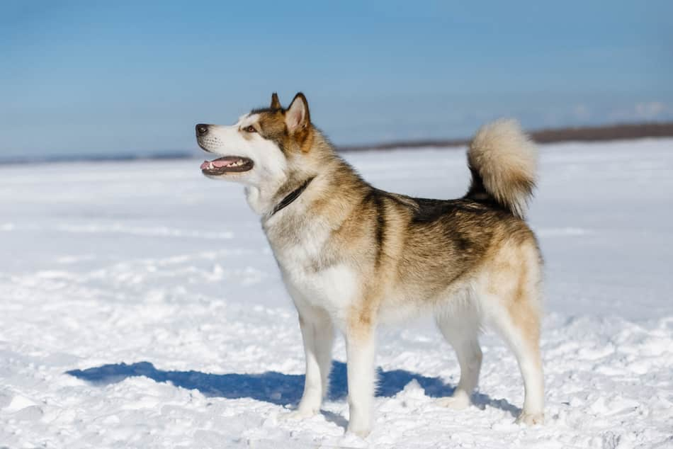 how cold can an alaskan malamute tolerate?