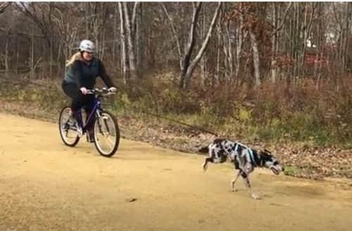 how to train a Husky to pull a bike