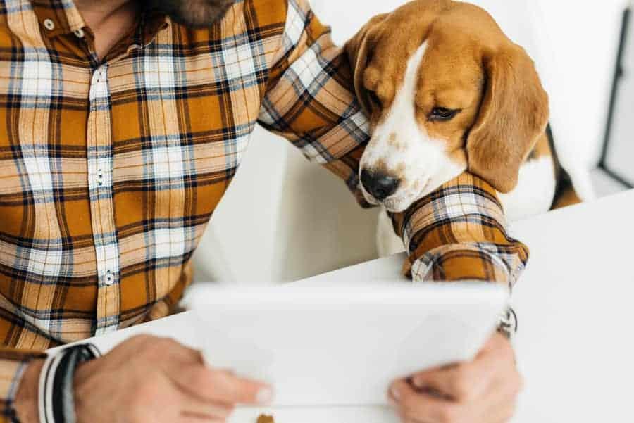How do beagles show affection