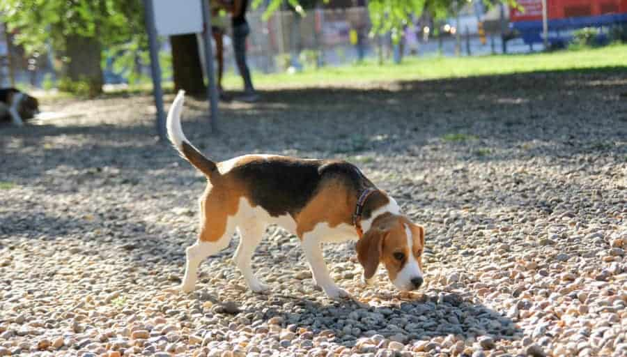 How long and far can beagles walk