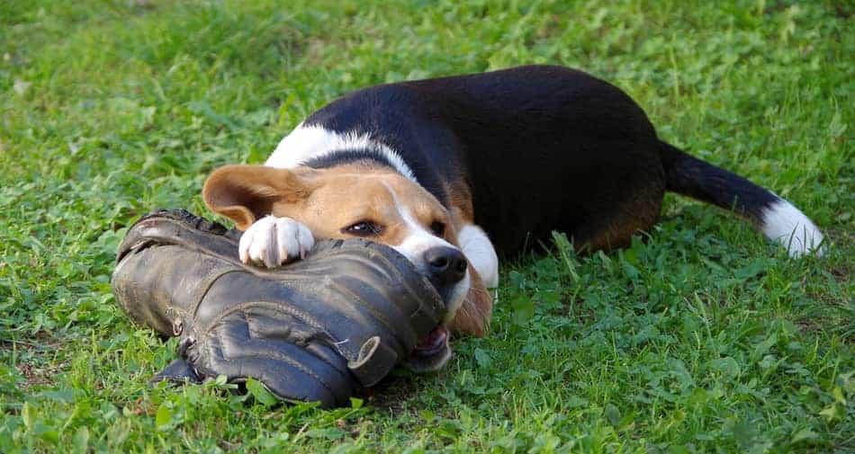 Are beagles destructive?