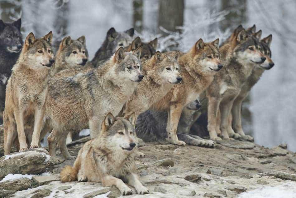 malamute vs wolf fight
