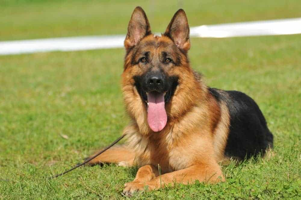 red black german shepherd