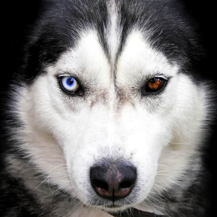 Why do huskies have different colored eyes