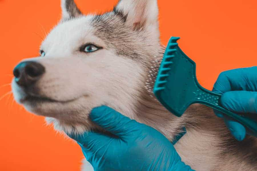 grooming your husky