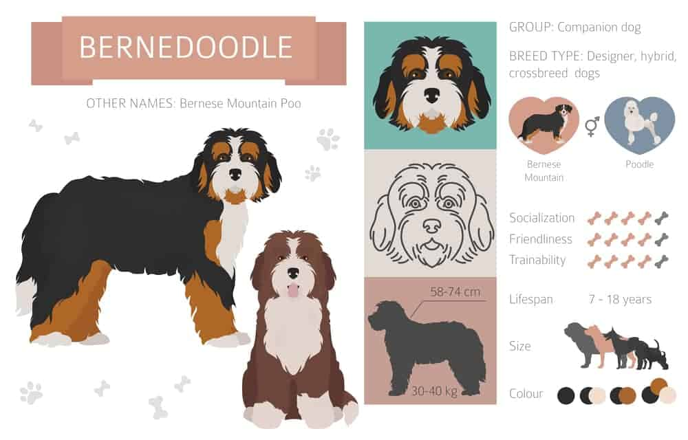 Bernese Mountain Poodle mix