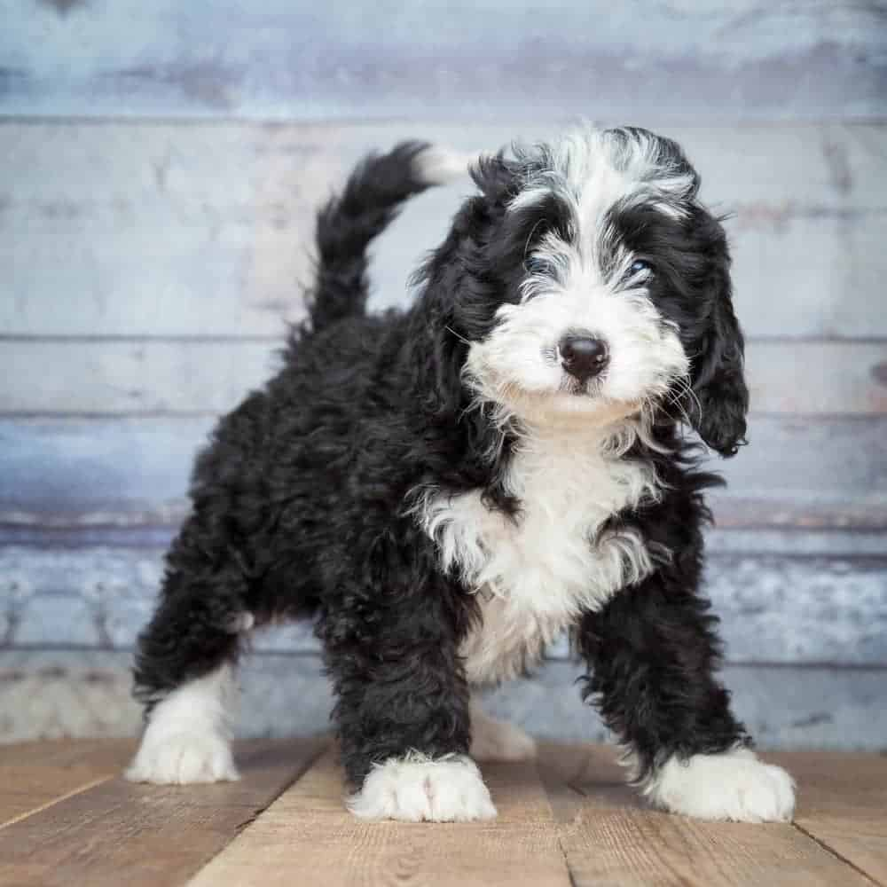Bernese Poodle mix puppies