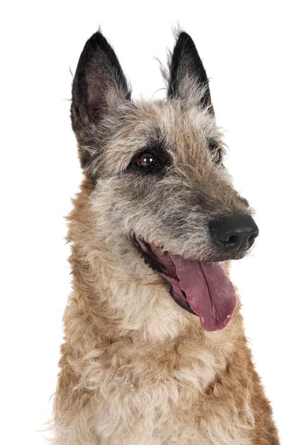 dog breed that looks like a german shepherd