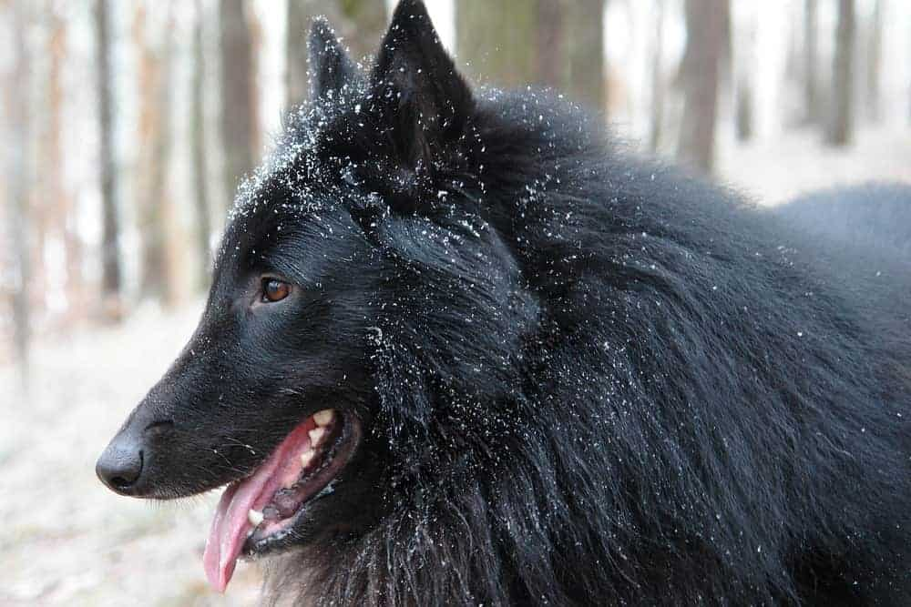 dog that looks like german shepherd