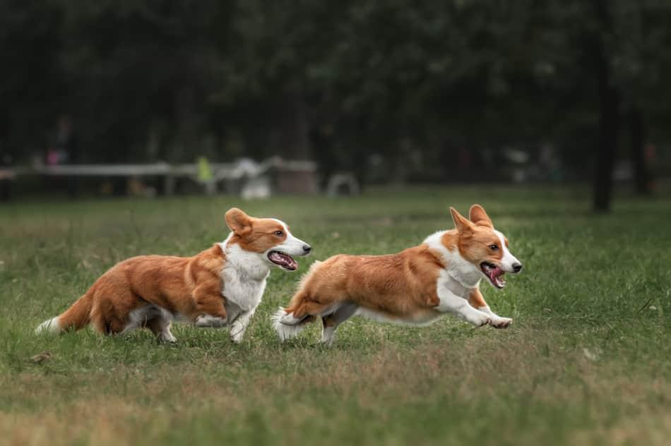 are corgis good for running