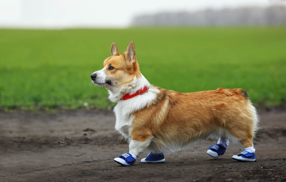 are corgis good running dogs
