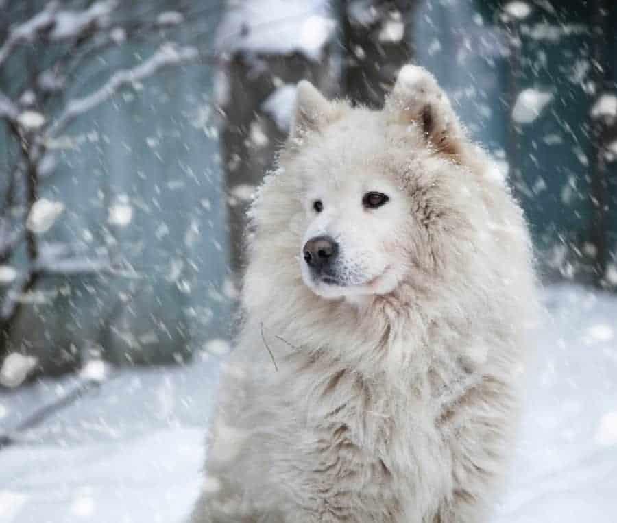 Big white fluffy dogs