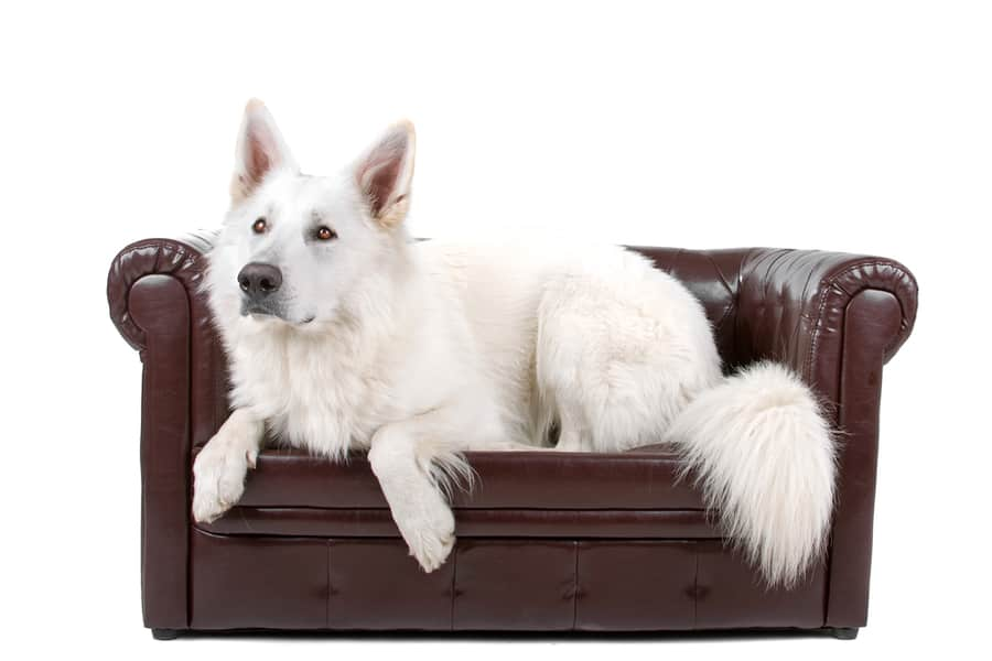 American White German Shepherd