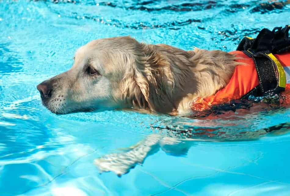 do labradors know how to swim