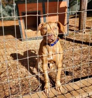 american red nosed pitbull breeders