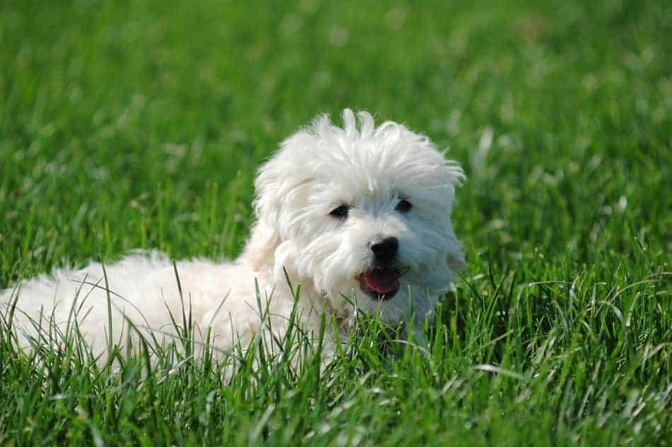 Maltese Terrier