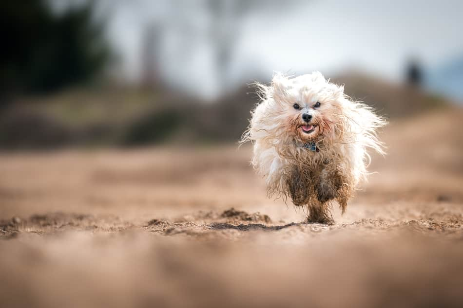 Dirty white dog