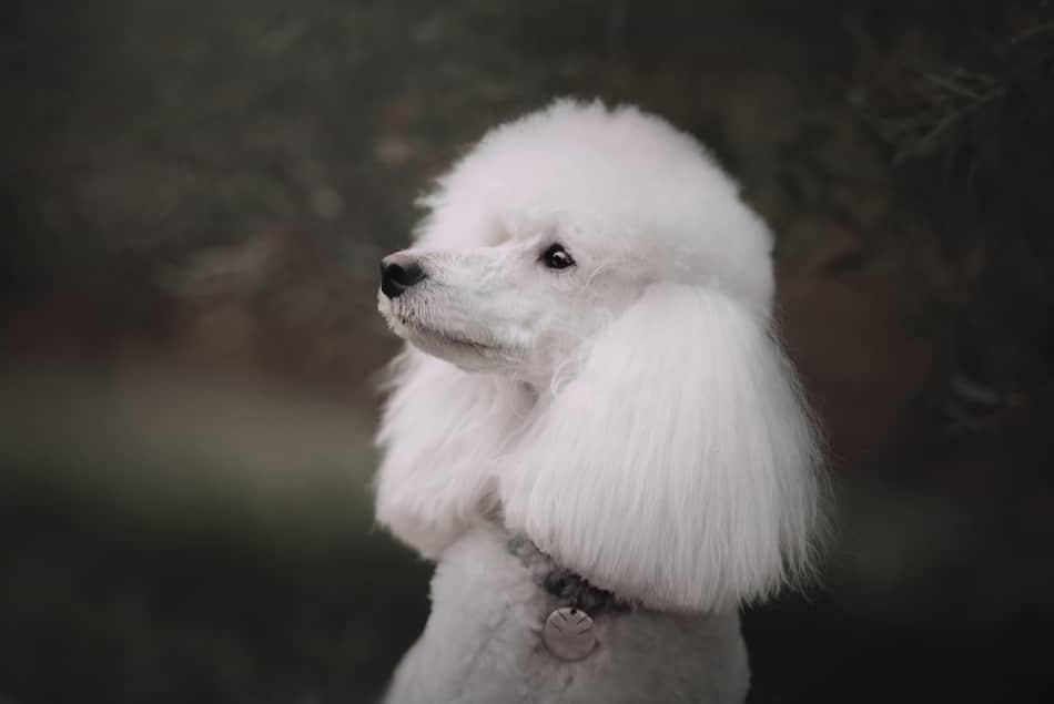 klein poodle
